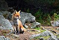 Graceful fox in a rocky forest (Unsplash).jpg