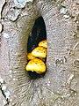 Granitz. Pilze im Baum.jpg