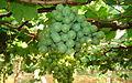 Grape cultivation in Tamil Nadu.jpg