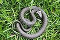 Grass Snake (Natrix natrix) (7345074394).jpg
