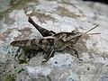 Grasshopper (3976826090).jpg