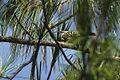 Gray-barred Wren - Oaxaca - Mexico S4E9551 (16961053307).jpg