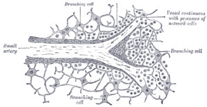 Trabecular arteries - Section of the spleen, showing the termination of the small blood vessels.