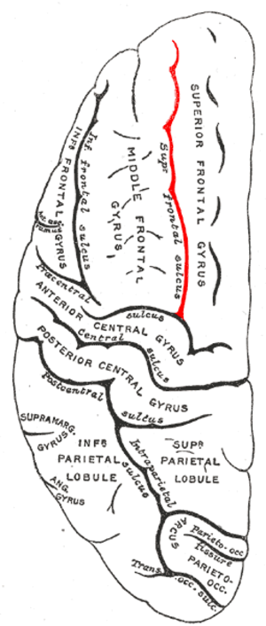 Superior frontal sulcus - Lateral surface of left cerebral hemisphere, viewed from above.