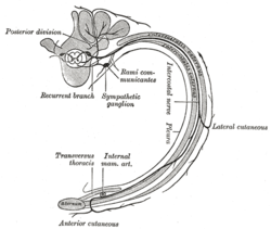 Intercostal nerves - Wikipedia