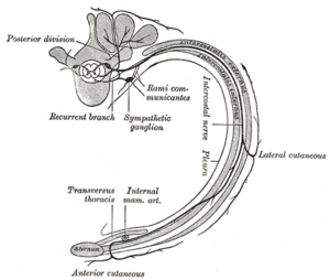 White ramus communicans - Diagram of the course and branches of a typical intercostal nerve. (Rami communicantes labeled at center.)