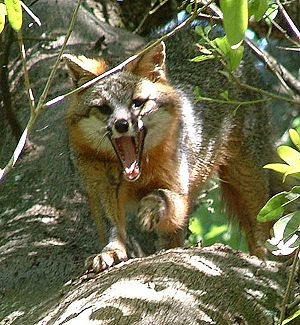 Gray fox - A yawning gray fox, northern Florida