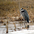 Great Blue Heron (389989966).jpg