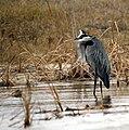 Great Blue Heron (389989966).jpg