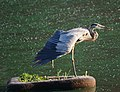 Great Blue Heron (4855368066).jpg