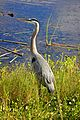Great Blue Heron (Ardea herodias) (6998582971).jpg