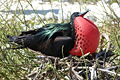 Great Frigatebird at Genovesa.JPG