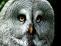 Great Grey ( laplanduil ) - Flickr - jpockele.jpg