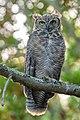 Great Horned Owl (44667845382).jpg