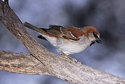 Great Sparrow Passer motitensis at Marakele National Park, South Africa - male (7796694788).jpg