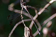 Great Spreadwing Archilestes grandis 2009-08-16.jpg