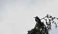 Great spotted woodpecker (E) (2) (9126197915).jpg