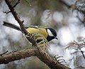 Great tit (31614670375).jpg