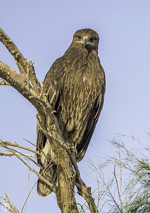 Greater Spotted Eagles.jpg