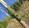 Green Bush cricket. Steropleurus andalusius levantinus.^ Tettigoniidae. Sub family. Ephippigerinae - Flickr - gailhampshire (2).jpg