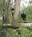 Green Peafowl in the Snowdon Aviary, London Zoo - geograph.org.uk - 823389.jpg