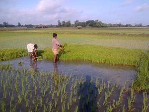 Satkhira District - rice planting near village Bhagbah