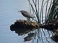 Green heron (27110670971).jpg