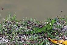 Green iguana (Iguana iguana) juvenile.jpg