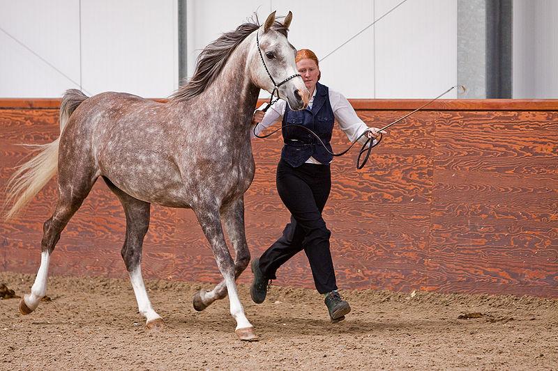 File:Grey Arabian horse.jpg
