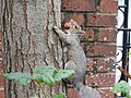 Grey Squirrel (30340123726).jpg