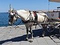 Grey carriage horse in Chania, Creta (03).jpg