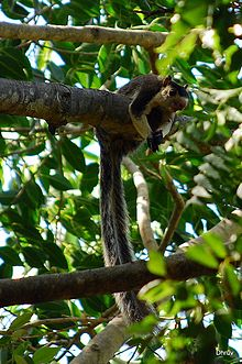 Grizzled Giant Squirrel (Ratufa macroura).jpg