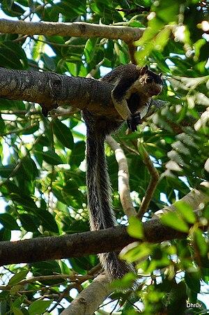 Grizzled Giant Squirrel (Ratufa macroura).jpg