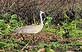 Grus canadensis (Sandhill Crane) 51.jpg