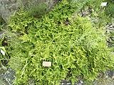 Gymnocarpium-robertianum-limestone-fern-0a.jpg