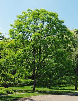 Gymnocladus dioicus Arnold Arboretum.jpg