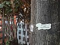 HK 灣仔 Wan Chai 修頓球場 Southorn Playground tree trunk sign Eucalyptus moluccana July 2021 SS2.jpg