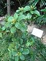 HK Wan Chai Harbour Road Garden Rhaphiolepis indica Oct-2012.JPG