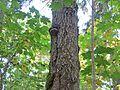 Haava-tuletaelik (Phellinus populicola) Heinassaare Ida-Virumaa 2013.jpg