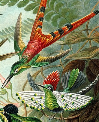 Red-tailed comet - Image: Haeckel Lophornis
