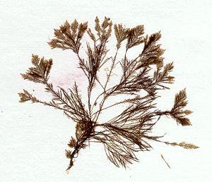 Sphacelariales - Halopteris filicina