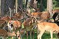 Haltern - Naturwildpark Granat - Dama dama dama 85 ies.jpg