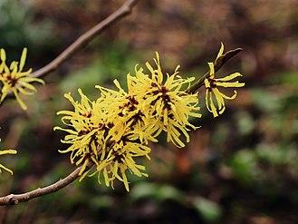 Цветки Hamamelis ×intermedia 'Angelly'