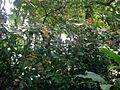 Hamelia patens plant.jpg