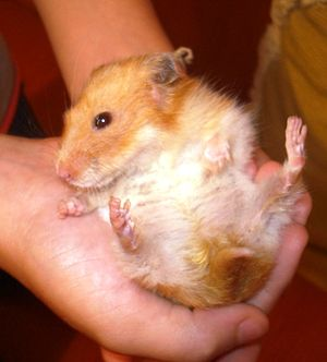The hamster from user Lucas hamster