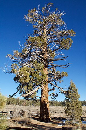 Holcomb Valley - Hangman's Tree, where frontier justice was dispensed
