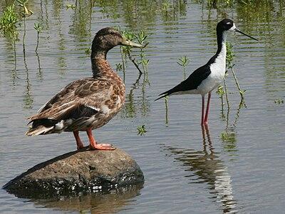 Hawaiian Duck and Stilt
