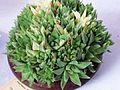 Haworthia cymbiformis plant.jpg