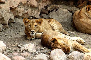 Head on with lion cub.jpg