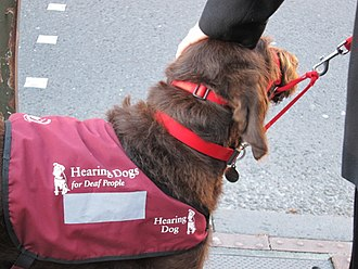 Assistance dog - Hearing Dog being petted on its head.